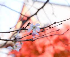 この時期しか見れない紅葉と桜と清水観音堂
