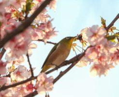 河津桜とメジロ2020220_04