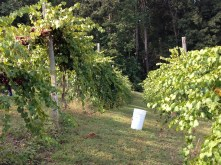 More Muscadine Picking