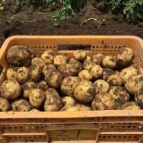 収穫したジャガイモ