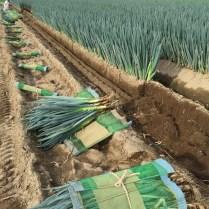 ネギの収穫風景