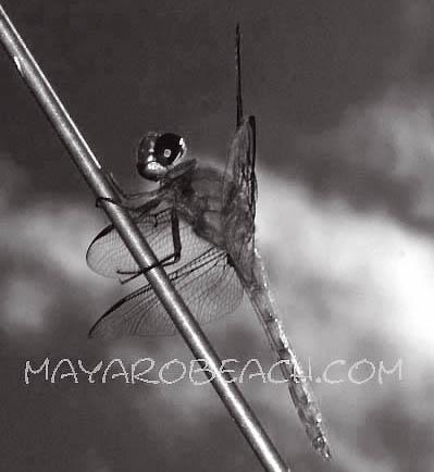 Dragonfly by aka_lol