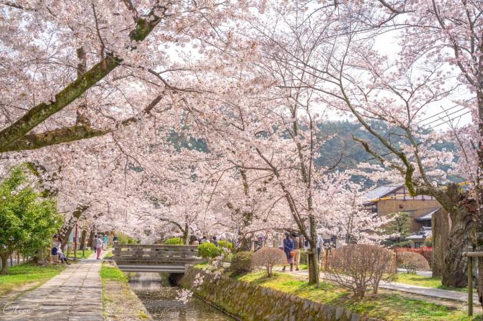 京都賞櫻景點 哲學之道櫻花散步道