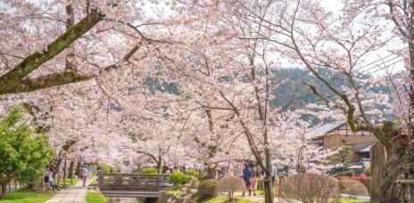 京都賞櫻名所「哲學之道」櫻花滿開的粉色大道
