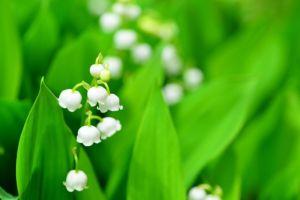 すずらん、スズラン、お花、植物