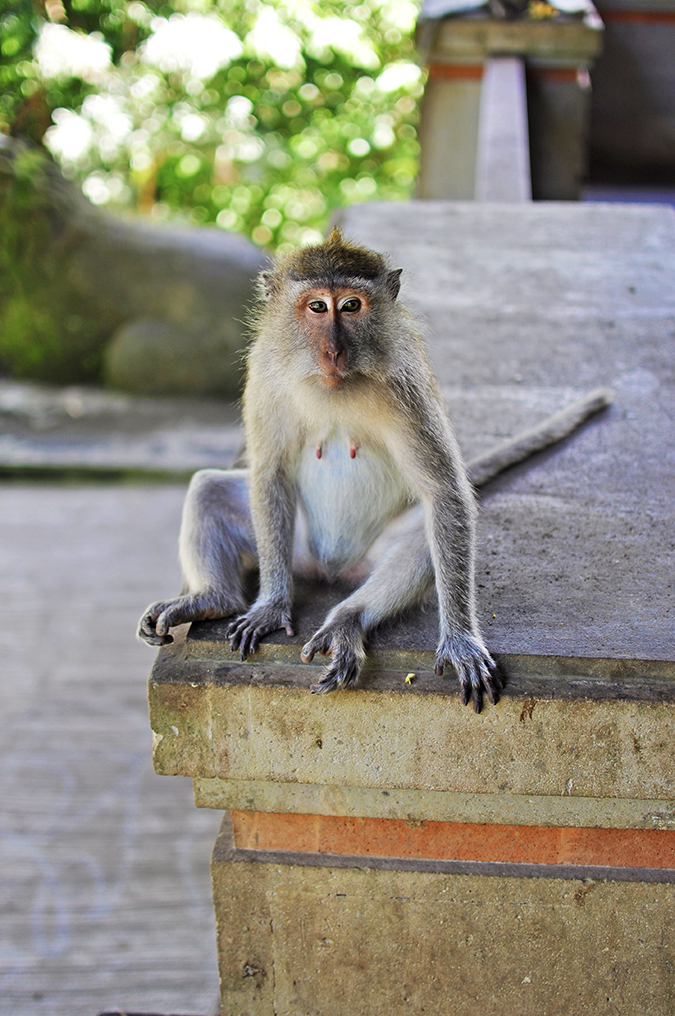 Sacred Monkey Forest Sanctuary - Ubud | Akanksha Redhu | monkey portrait