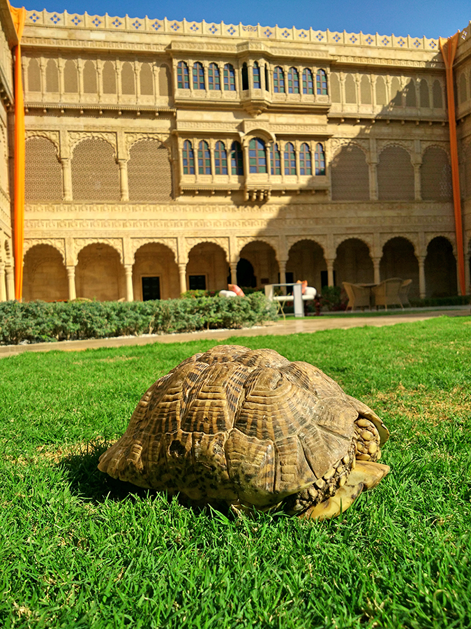 Suryagarh Jaisalmer | Akanksha Redhu | tortoise