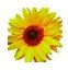 Sunflower Accounts Ltd Logo
