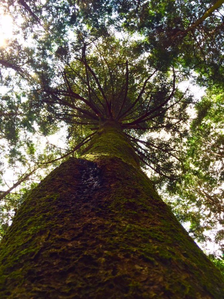 モミの木。下から。