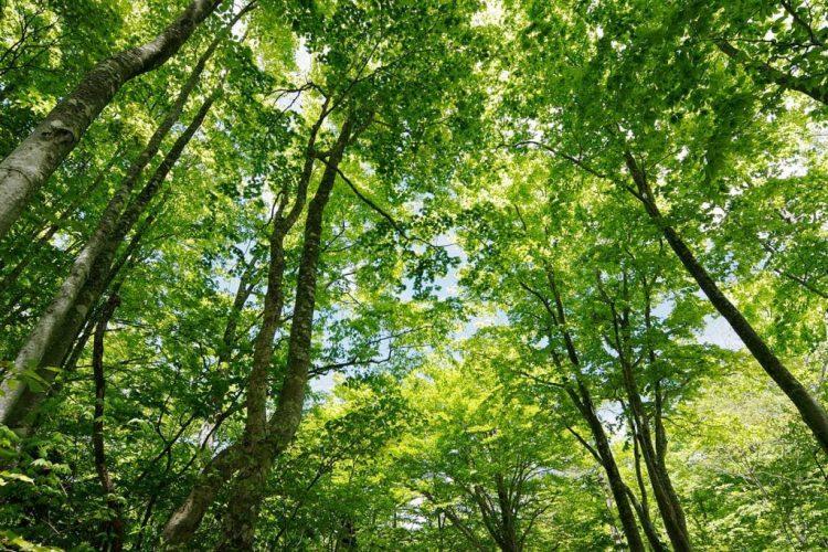 ブナの原生林3