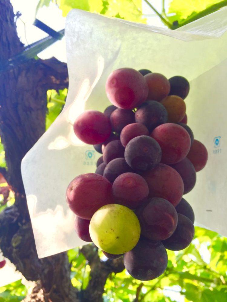 種ありブドウ。
