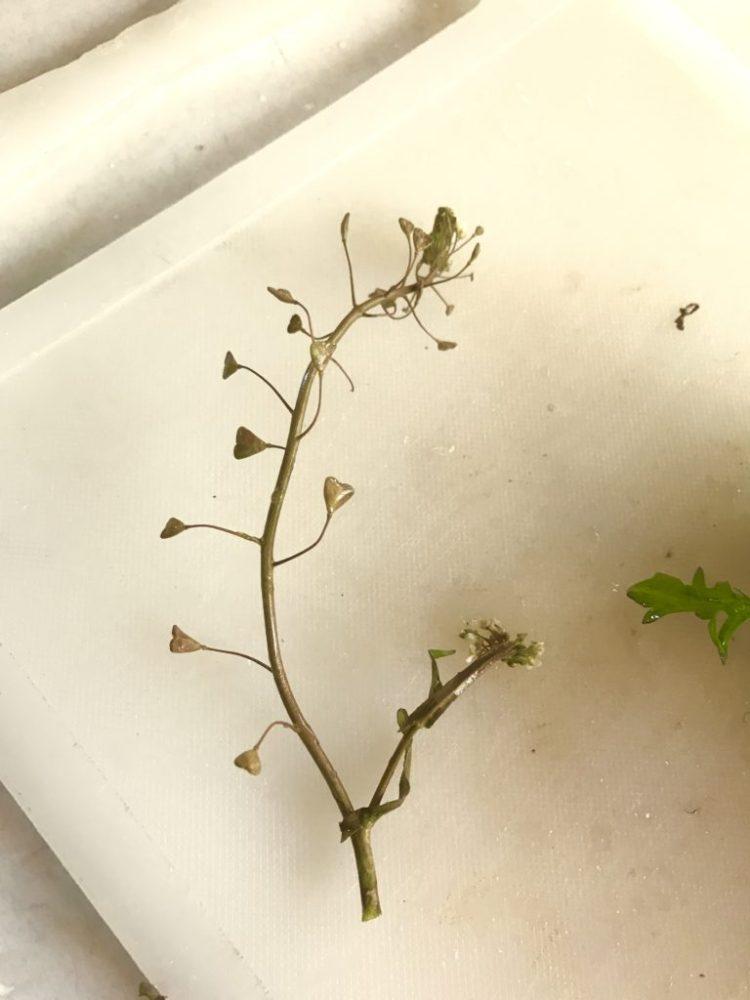 ナズナの茎。