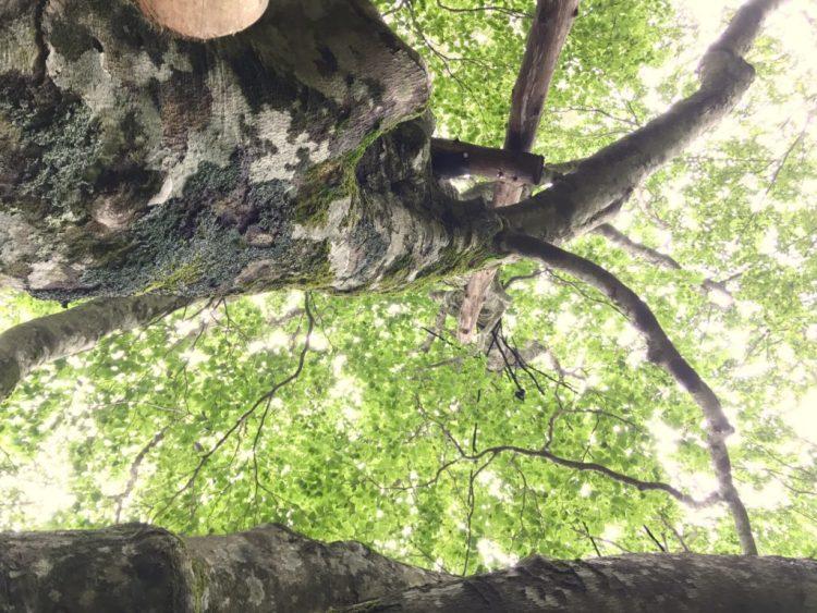 ブナの木。