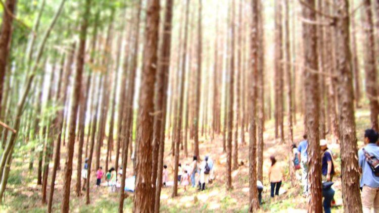 ヒノキの森。