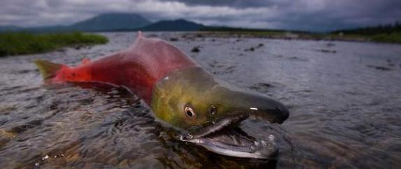 salmon in shallow water