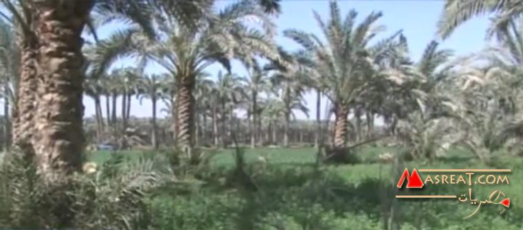 زراعة اشجار النخيل في مصر