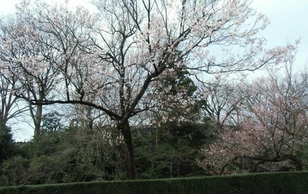 高岡古城公園桜開花