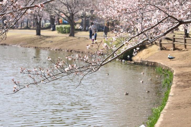 乙戸沼公園桜
