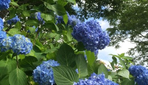 翠雲公園の紫陽花(あじさい)~北秋田市合川