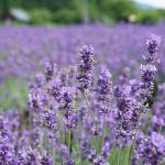 白と紫のコントラストがうつくしい。美郷町ラベンダー園とラベンダーアイス