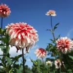 100種1000本以上のダリアが咲きそろう。オープンガーデン 秋田森のテラスのダリア園