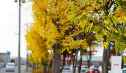 【北秋田市たかのすまち歩き】ファルコン〜三角公園のいちょう並木と紅葉