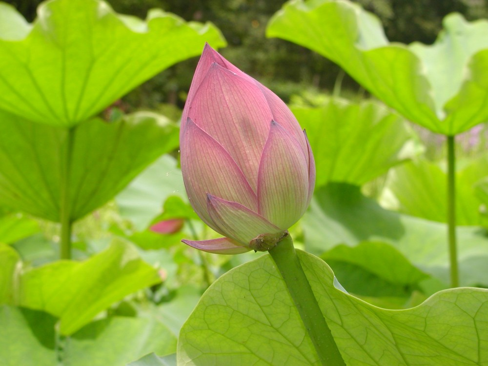 Basho's lotus flowers (1/4)