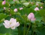 Lotus05