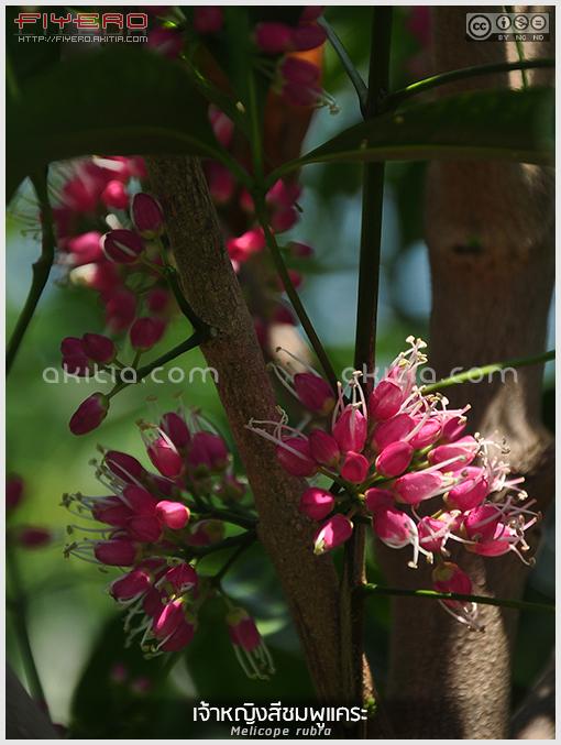 ต้นเจ้าหญิงสีชมพูแคระ, ดอกเจ้าหญิงสีชมพูแคระ, Little Evodia, Melicope rubra, Evodiella, ดอกสีชมพู, ดอกสีแดง, วงศ์ส้ม, ต้นไม้, ดอกไม้, ไม้ดอก, ไม้ยืนต้น