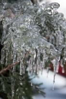 Frozen evergreen tree