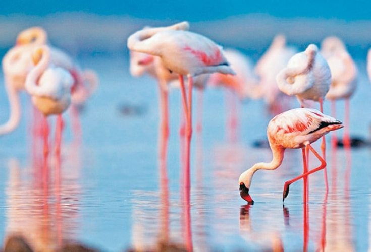 Image result for flamingos in india