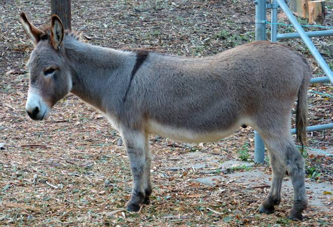 Pakistan to earn millions by exporting donkeys to China