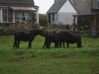U Holandiji počeo uzgoj bosanskog brdskog konja