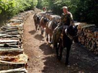 Šume južne Srbije: Ono što ne može mehanizacija mogu konji samaraši iz Bosne FOTO/VIDEO