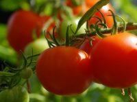 Kako do dobrog uroda paradajza?