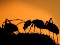 FOTO: Mravi uvijek iznova iznenađuju naučnike