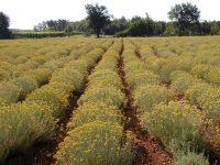 Napušteno hiljade plantaža: Smiljomanija u Hercegovini stvar prošlosti
