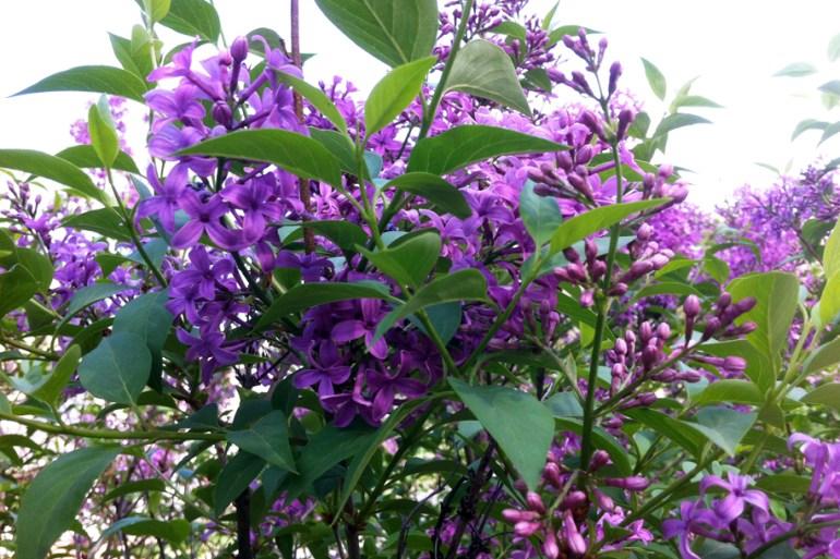 My Purple lilac bush