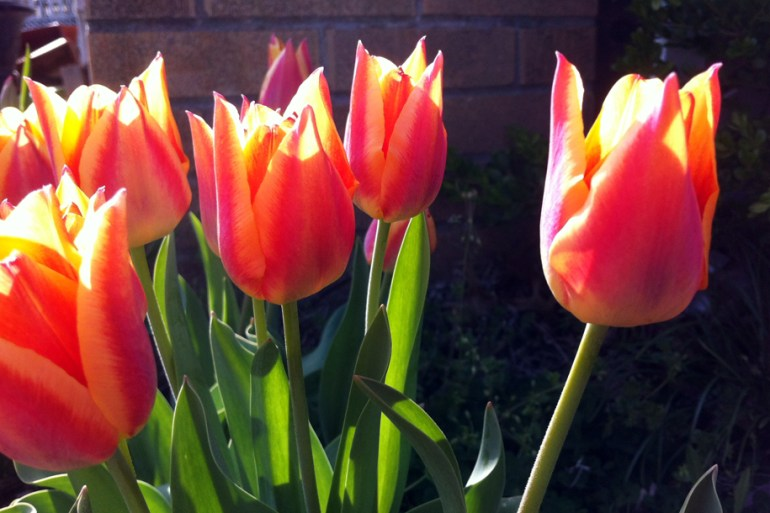 Here's a few of my tulips