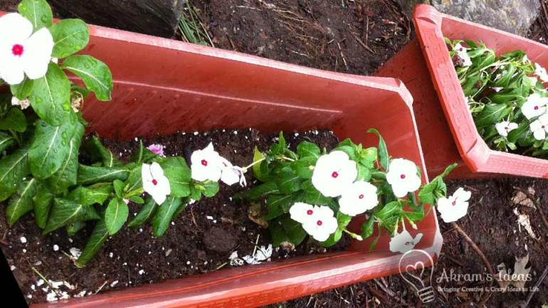 annual vinca flowers potted