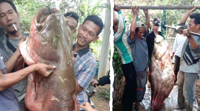 Ikan Tapah raksasa seberat 60 kg ditemukan di Sungai Batang Tebo, Muara Bungo, Jambi.