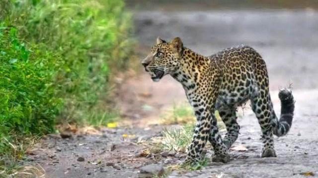 Ilustrasi penampakan macan tutul. Sumber foto: Wikimedia commons-Chandra Firmansyah