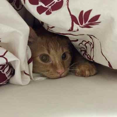Katze unter der Bettdecke