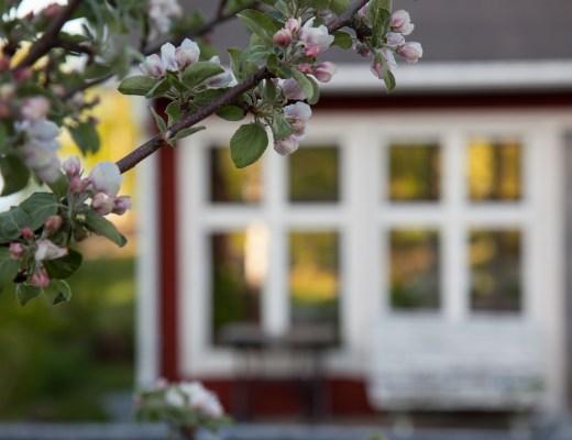 Äppelblom och växthuset