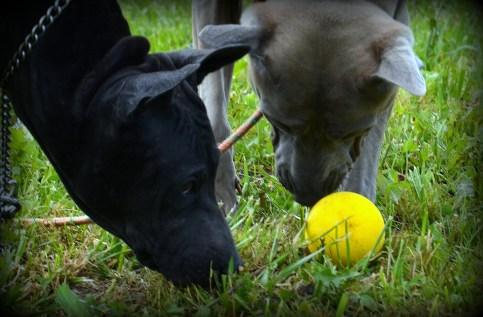 Thai Ridgeback Dogs playing with ball