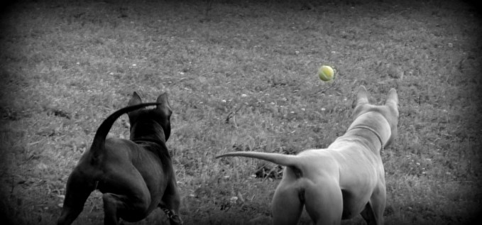 Thai Ridgeback Dogs playing with ball