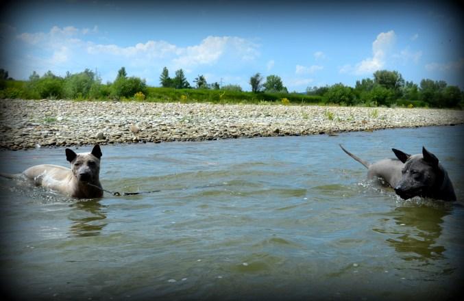 Thai Ridgeback Dog Mashi & Shadow in the water