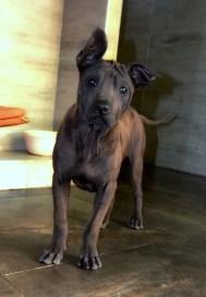 Asija - suczka Thai Ridgeback Dog