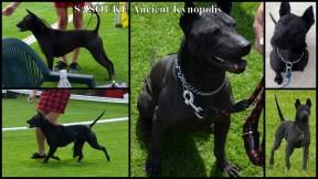 Sasouke Ancient Kynopolis #blackthairidgebackdog #czarnytajskiridgeback #blackthaidog #czarnytajskipies