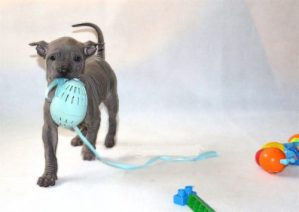 blue thai ridgeback puppy